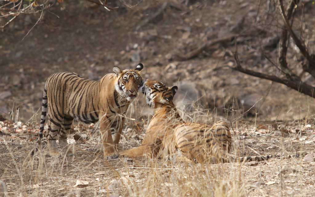 Sultan (T-72): a Fearless Emperor of the Ranthambore Forest